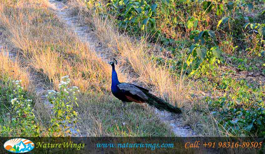dooars-package-peacock-during-sightseening