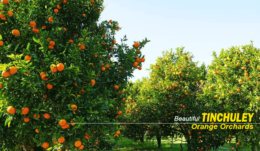 orange orchards during tinchuley Package Tour