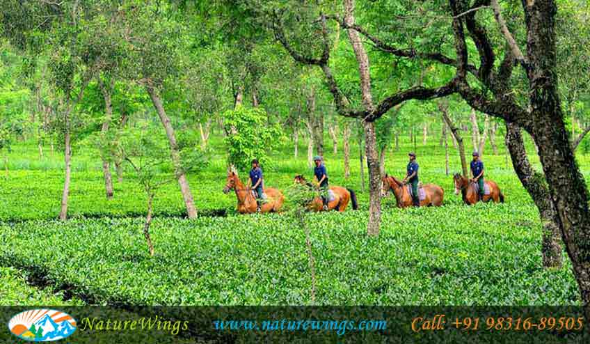 Tea-Gardens-of-Assam