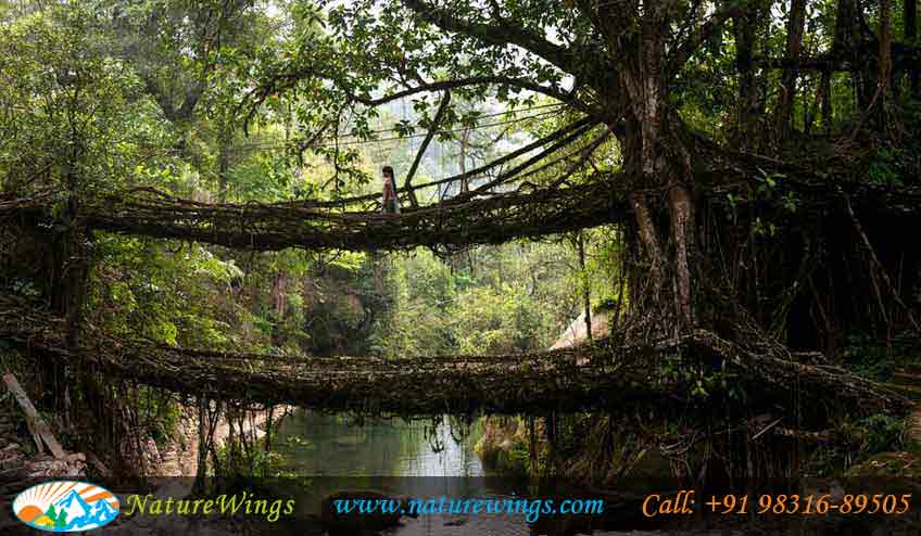 cherrapunji-root-bridge
